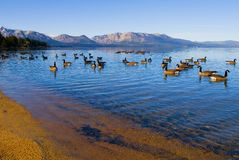 Canadian Geese swimming in the lake. Canadian Geese swimming in Lake Tahoe Stock Image