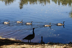 Canadian Geese Swimming In Pond And On Shore Stock Images