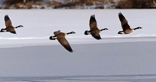 Canadian Geese taking flight over a frozen lake Stock Photo