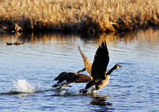 Canadian geese taking off Stock Photography