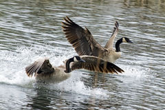 Canadian Geese Taking Off Royalty Free Stock Photos