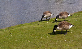 Canadian Geese Stock Photos