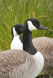 Canadian Geese. Two canadian geese by a lagoon Royalty Free Stock Photography