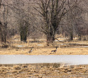 Canadian Geese. Two geese play in and out of the floodwater royalty free stock photos