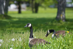 Canadian Geese. Up close of two Canadian Geese looking around for food in the dandy lions and tall grass. It is spring in Cornwall, Canada stock images