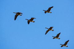 Canadian Geese Vee Stock Images
