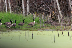 Canadian Geese. Walking in a group beside a pond Stock Photo