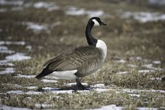 Canadian Geese At Belle Isle Winter With trees stock photography
