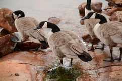 Canadian Geese in Water. By shore Royalty Free Stock Images
