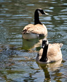 Canadian Geese on water Stock Photography