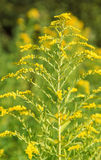 Canadian goldenrod. Yellow Canadian goldenrod flower in natural ambiance Stock Photo