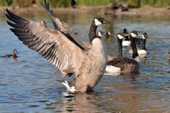 CANADIAN GOOSE. In nature park Royalty Free Stock Photos