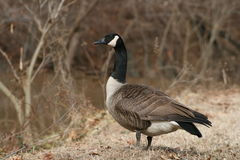 Canadian Goose. Standing guard beside a creek Royalty Free Stock Photo