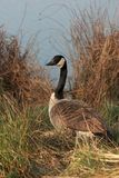 Canadian Goose. Sitting in the gras stock image