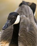 Canadian goose. Portrait of a Canadian goose Royalty Free Stock Images