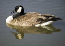 Canadian goose. Photo of a Canadian goose swimming Stock Photos