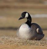 Canadian goose. A canadian goose taken in Alberta, Canada Stock Photo