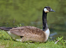 Free Canadian Goose Stock Photography - 14806282