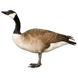 Canadian Goose. Isolated on white Royalty Free Stock Images