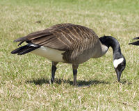 Canadian Goose Royalty Free Stock Photos