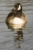 Canadian Goose. Close up of Canadian Goose (Branta canadensis) - portrait orientation Royalty Free Stock Photo