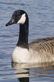 Canadian Goose. Close up of Canadian Goose (Branta canadensis) - portrait orientation Royalty Free Stock Photography