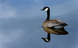 Canadian Goose. This photo of a Canadian Goose was taken at Vermilion Lakes in Banff, Alberta Royalty Free Stock Images