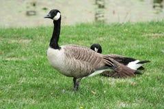 Canadian goose. Canada goose (branta Canadensis) in a meadow Stock Photos