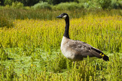 Canadian Goose Stock Photos