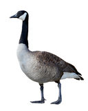 Canadian Goose Stock Photo
