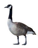 Canadian Goose Stock Photo