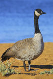 Canadian Goose. On the Beach of Lake Tahoe stock photography