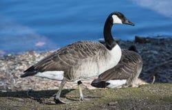 Free Canadian Goose Stock Image - 29604121