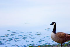 Canadian goose. One Canadian goose standing on water shore Royalty Free Stock Photography