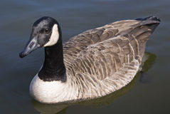 Canadian Goose. Captured while swimming in pond stock images