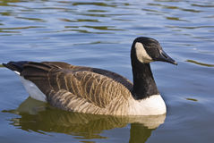 Canadian Goose Stock Photography