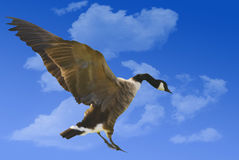 Canadian Goose. Captured in flight and coming in for a landing stock photography