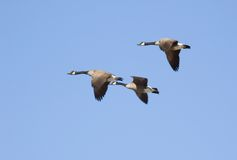 Canadian goose. In flight on blue sky background Stock Images