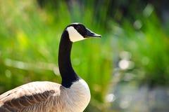 Free Canadian Goose Stock Photo - 92312260