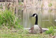 Canadian goose against the lake Royalty Free Stock Photography