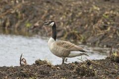 A Canadian Goose Stock Photos