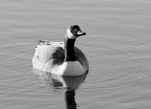Canadian Goose in Black and White. Canadian Goose on a lake in black and white tone stock image