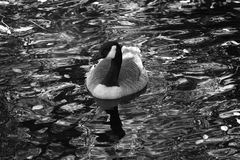Canadian Goose in Black and White Royalty Free Stock Images