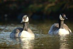 Canadian goose Branta canadensis close up Stock Photography