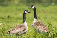 Canadian goose Branta canadensis. Close-up of two Canada goose Branta canadensis walking in a green meadow royalty free stock image