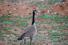 A Canadian Goose (Branta canadensis) Royalty Free Stock Photo