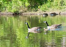 Canadian goose or Branta Canadensis with goslings in pond Royalty Free Stock Photos
