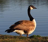 Canadian Goose Or Branta Canadensis Standing Beside A Lake