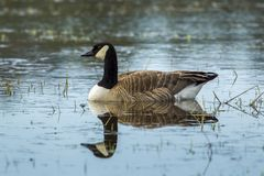Canadian goose swims in water. Stock Photography