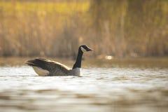 Canadian goose,branta canadensis Royalty Free Stock Image